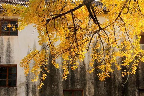 11.24徒步浙西临川古道,赏指南村红枫与银杏美景!