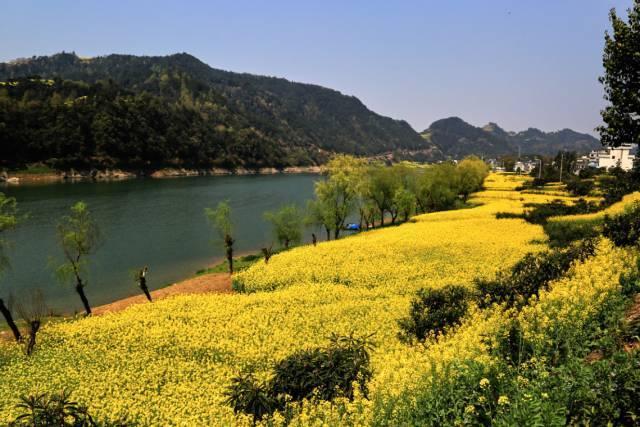 「春天花事」3.16漫步在新安江山水画廊,沉醉于沿岸油菜花