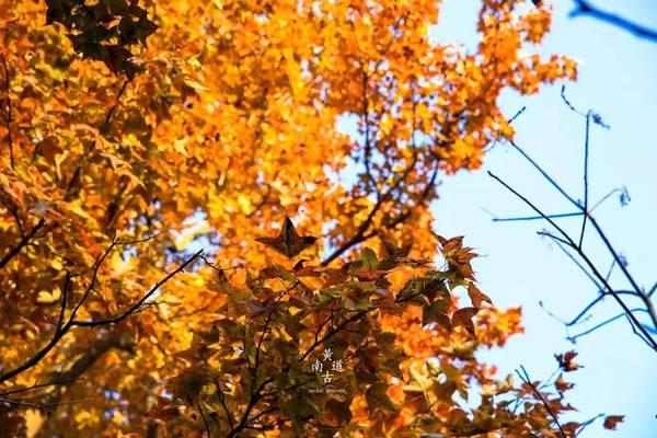 「最色秋季」11.24  去黄南古道看枫叶去,邂逅在醉意秋色里|红叶正当时