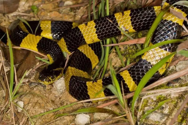 金环蛇(学名:bungarus fasciatus),俗称金甲带,金包铁,金脚带或佛蛇等