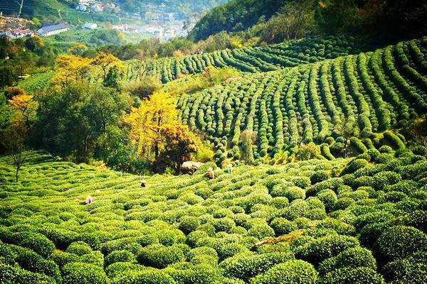 周末终于放晴!杭州最地道的茶味登山线这么走……必须收藏!